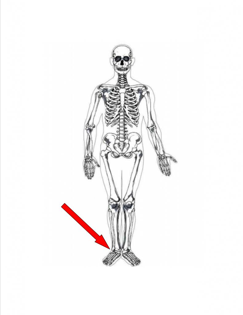 Skeleton #2 - Franklin Animal Clinic Inc. - Franklin, PA